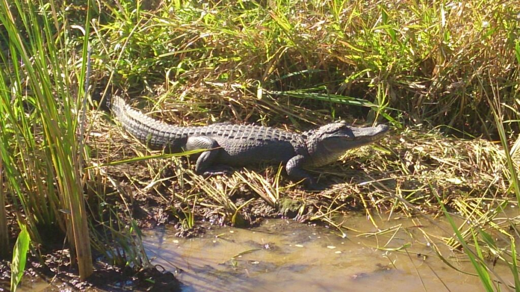 An alligator along the banks of the Mobile-Tensaw River Delta, Alabama.