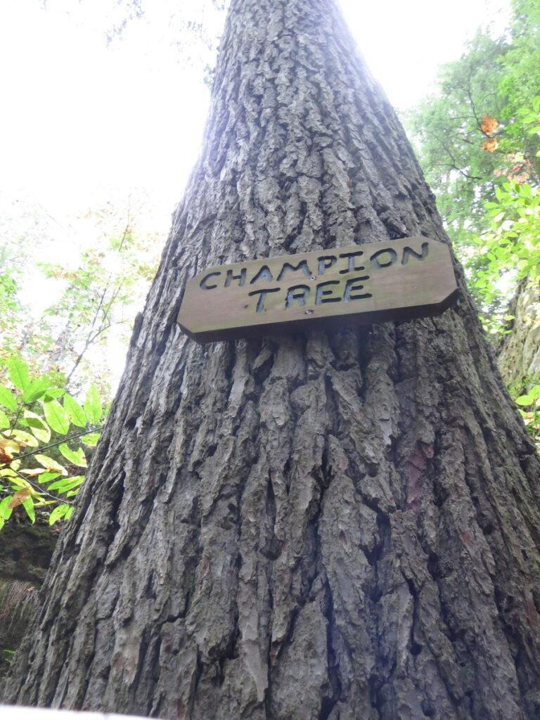 Champion Tree; Dismals Canyon, Alabama