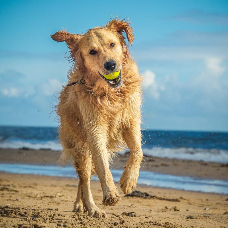 golden retriever dog on dog beach with tennis ball