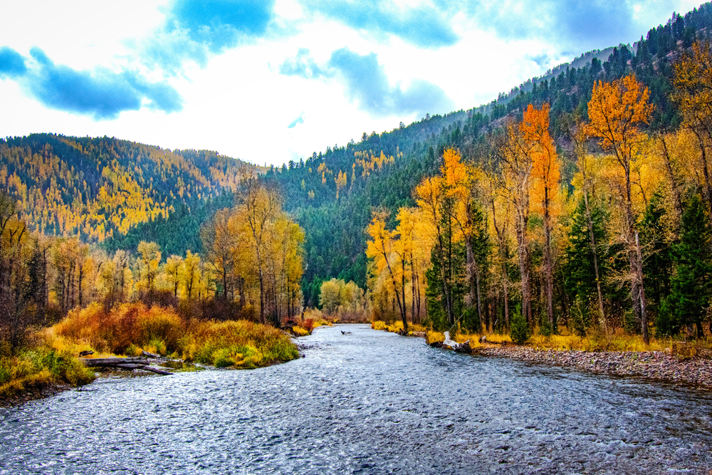 Fall colors coming out on Rock Creek River in Missoula Montana. The larch trees are in full golden.