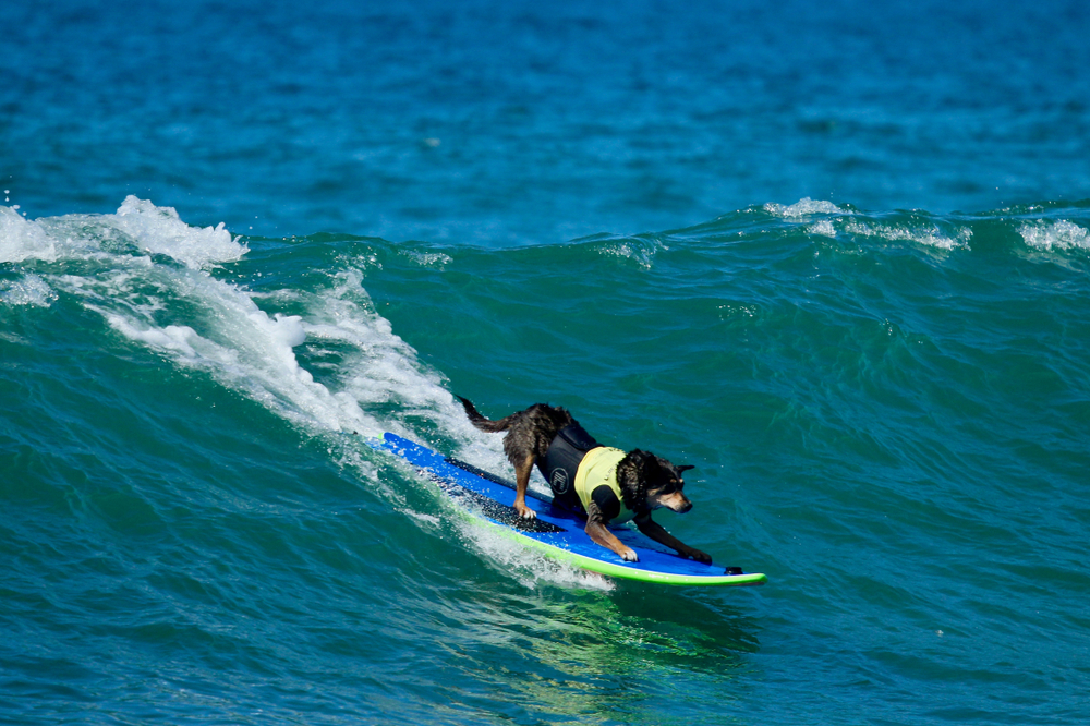 Dog surfing in Surf City Surf Dog Surfing Competition at Huntington Beach Dog Beach