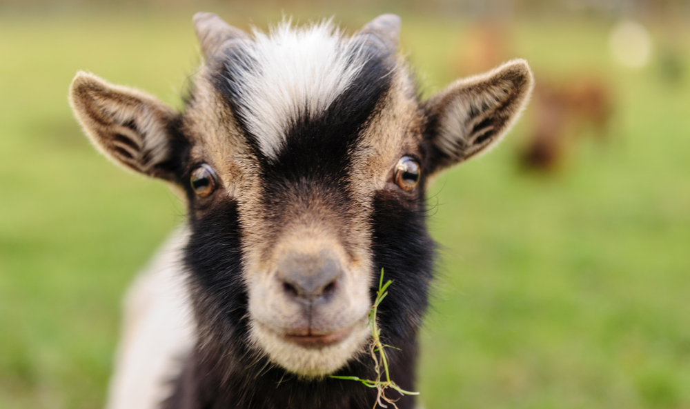 Close-up of a young goat with grass in its mouth.