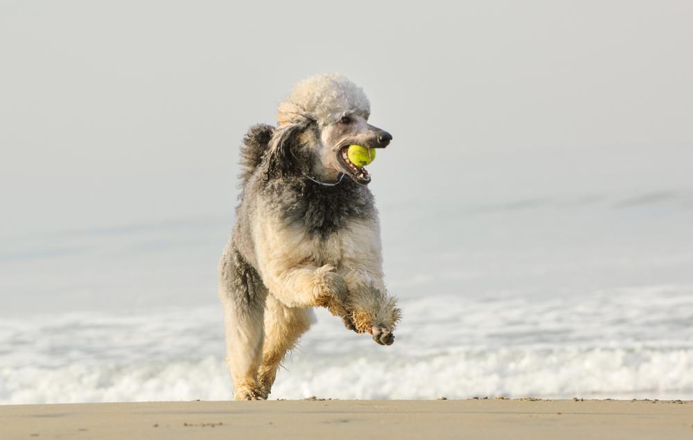 Gray Standard Poodle running with tennis ball in mouth on Coronado Dog Beach in Coronado, CA