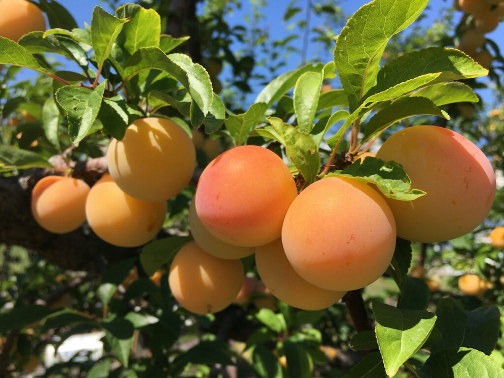Apricots almost ready to pick in Kelowna BC.