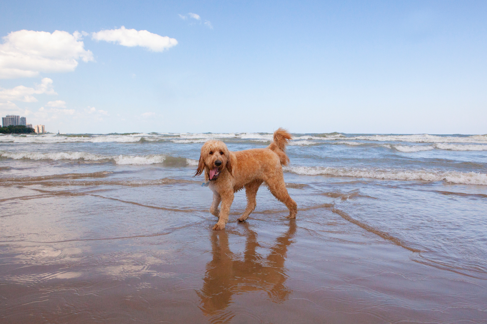 Goldendoodle on the shore of a wavy Lake Michigan at Montrose Dog Beach in Chicago