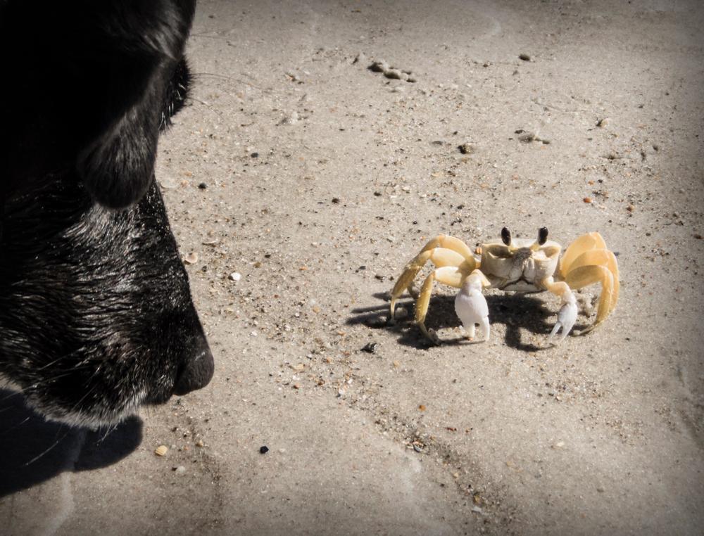 dog sniffing crab at Topsail Beach, NC