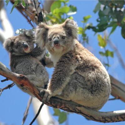 Wild Koalas along Great Ocean Road, Victoria, Australia.