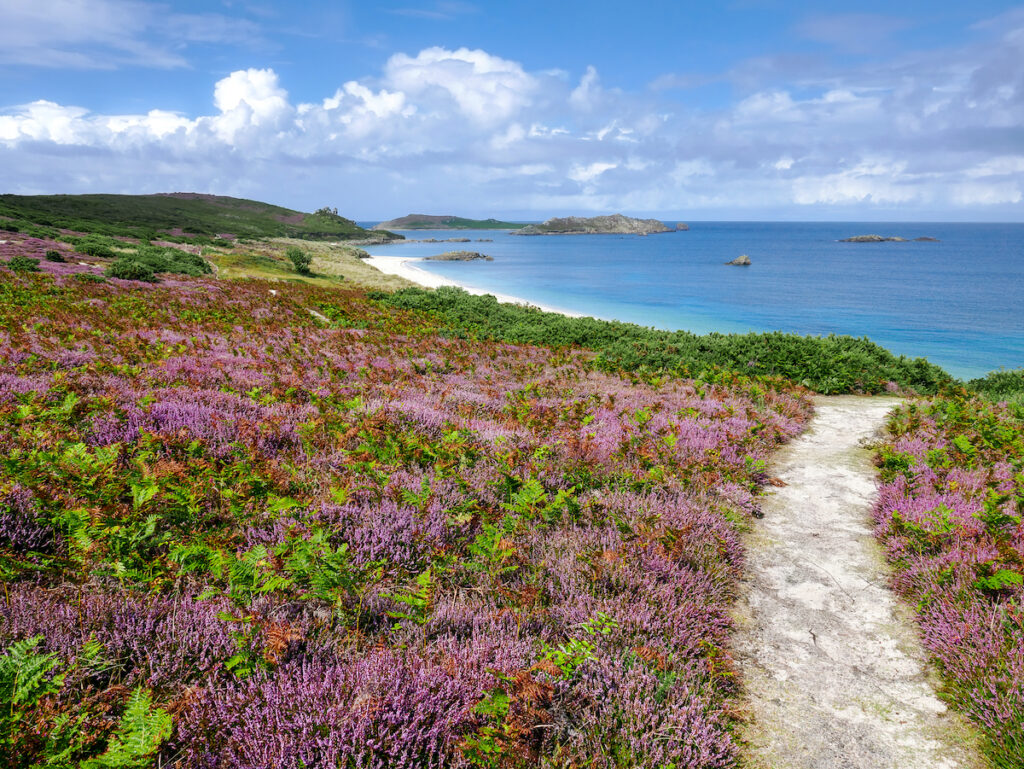 Purple wild flowers and greenery line the pathway to Great Bay on the Island of St Martin's. Part of the Isles Of Scilly.