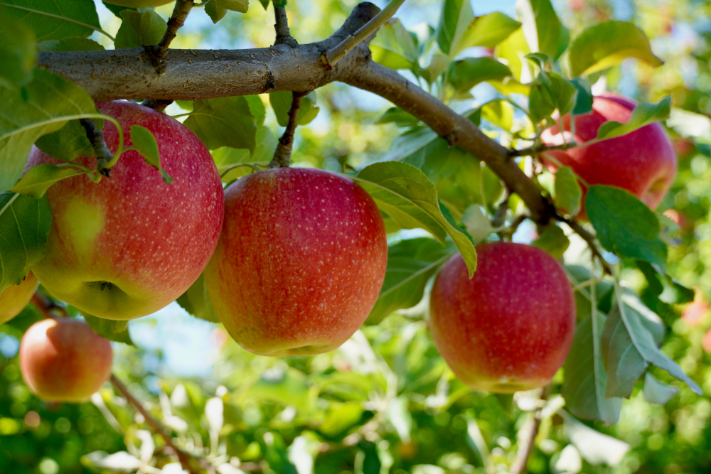 Ripe red apples growing on a tree in an orchard on a sunny day.