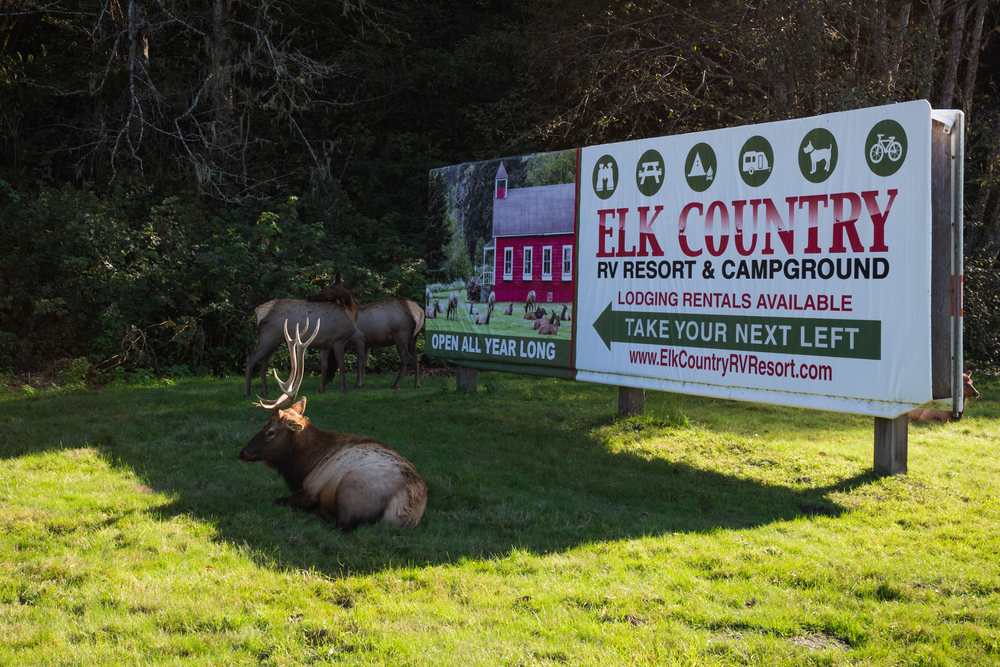 Large elk lying in front of sign for Elk Country Resort and Campground
