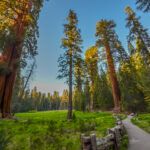 Giant Redwood trees in Sequoia and Kings canyon national park, California.