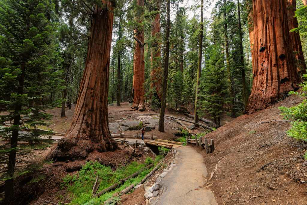Giant Sequoias Forest. Sequoia National Forest in California Sierra Nevada Mountains.