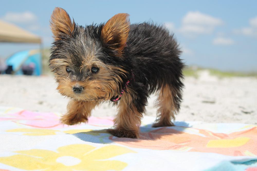 Yorkie Puppy exploring on Dog Beach