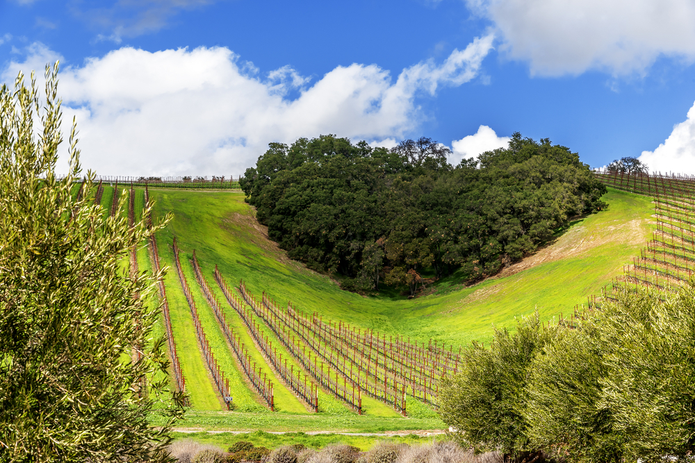 A copse of trees forms a heart shape on the scenic hills of the California Central Coast where vineyards grow a variety of fine grapes for wine production, near Paso Robles, CA. on scenic Highway 46.