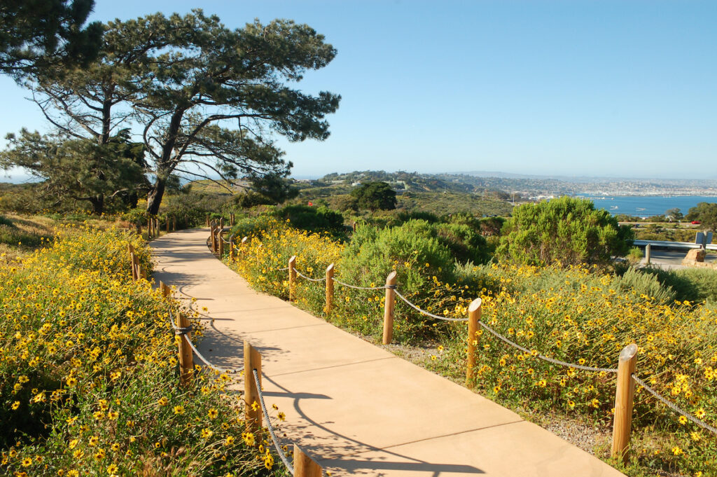 Wide pathway with yellow daisies at Cabrillo National Monument, San Diego, California.