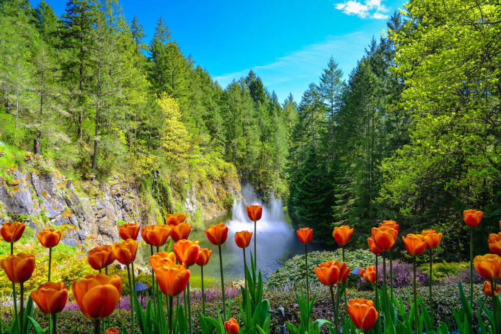 The view of tulips garden and the valley with waterfall in the background at Butchart Garden, Canada.