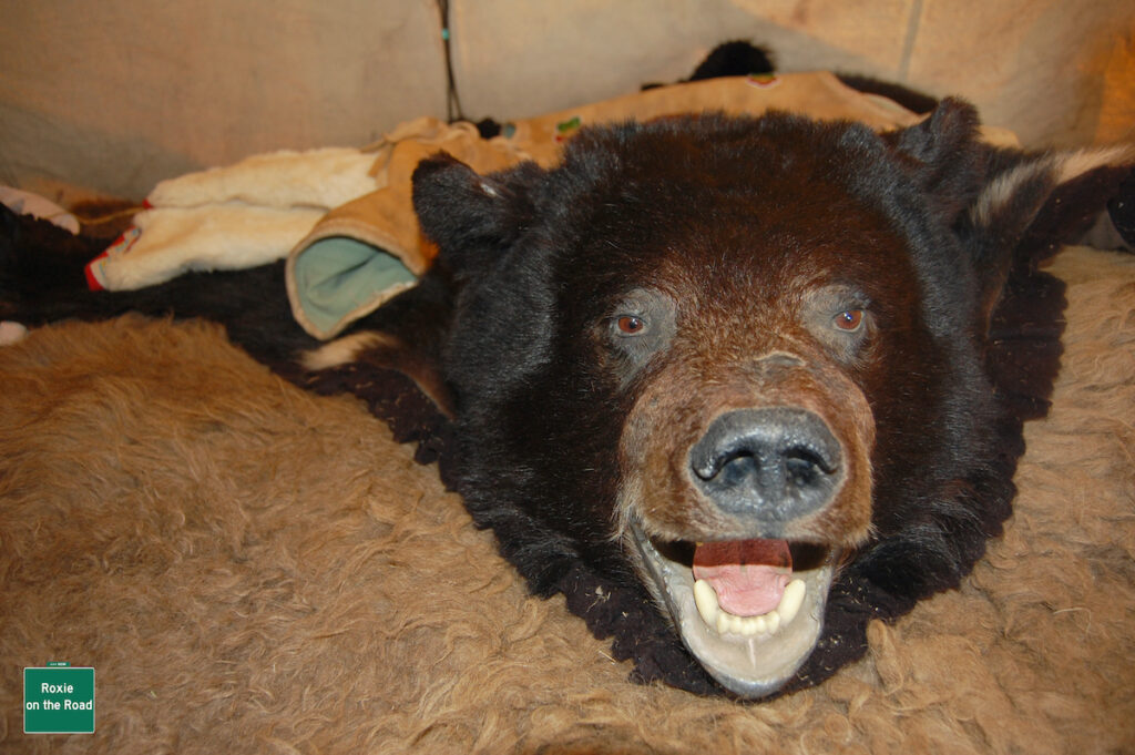 Bear skin at trapper's tent in Canada.