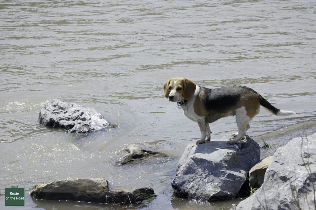 Beagle after fetching a stick for travelers in Canada.