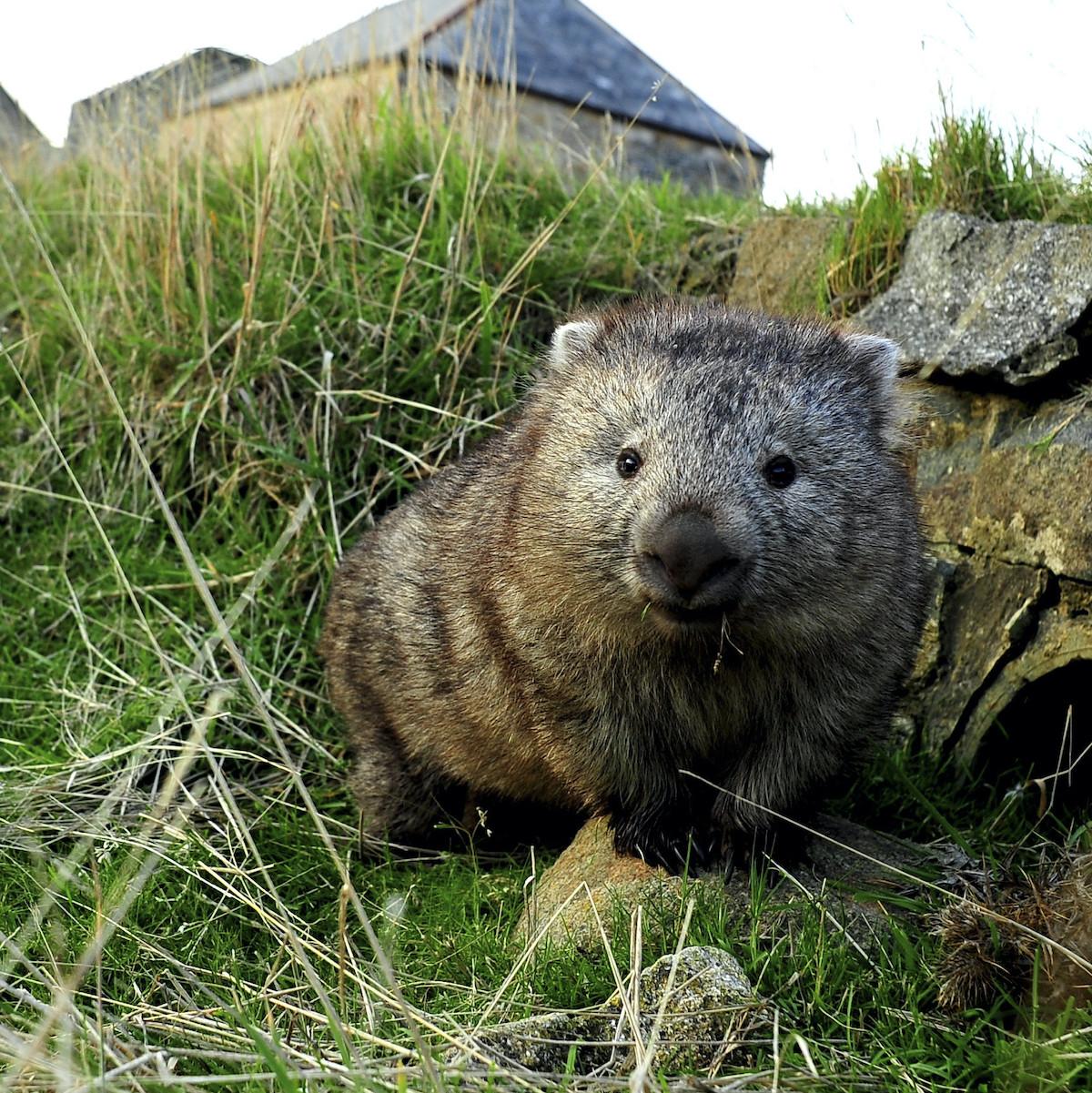 Close up of wombat.