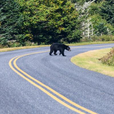 Black bear crossing the Blue Ridge Parkway