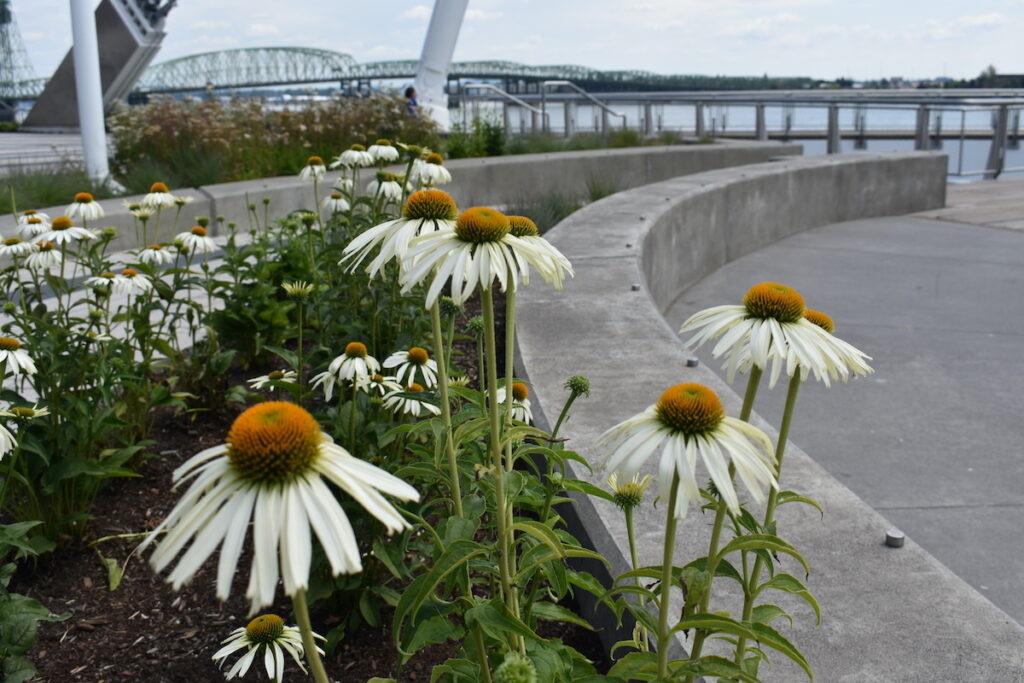Vancouver, revitalized waterfront with white daisies in the foreground.