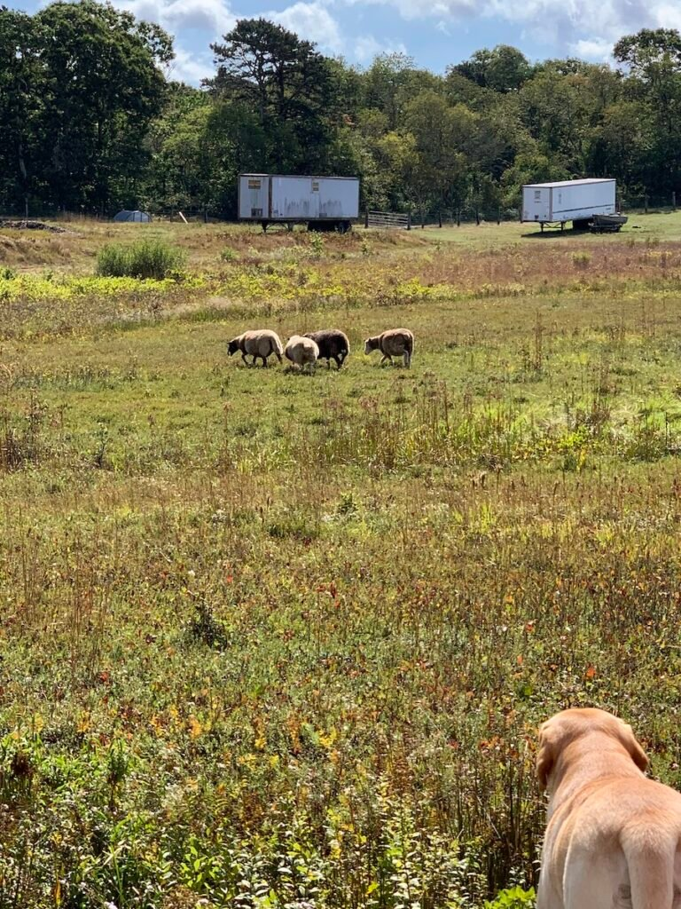Dog and Sheep on Cakounes Farm.