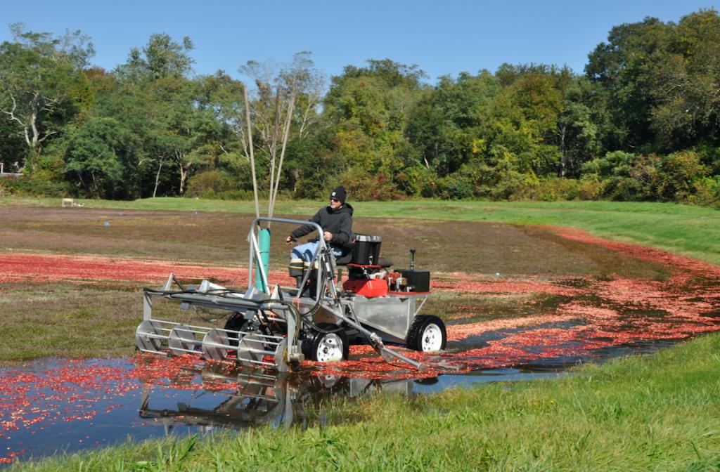 Wet cranberry harvesting.