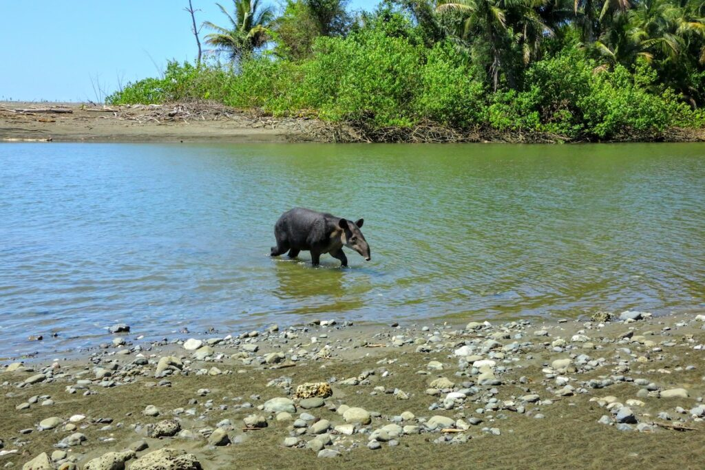 Tapir comes out of the water in Corcovado National Park, Costa Rica.