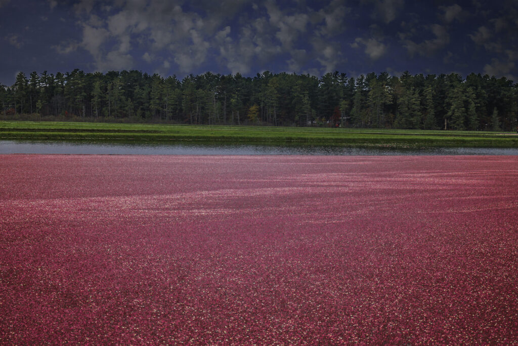 Cranberry Marsh in Wisconsin During Harvest.