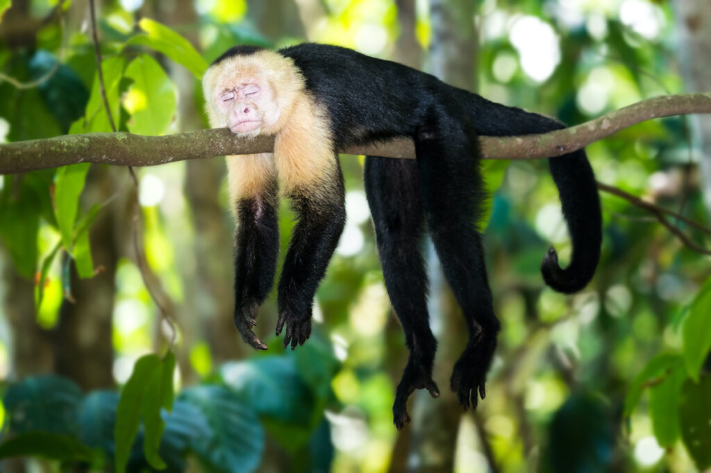 Capuchin Monkey in the jungle of Cahuita National Park.
